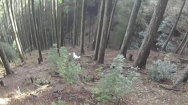 猟場を走る猟犬(紀州犬)
