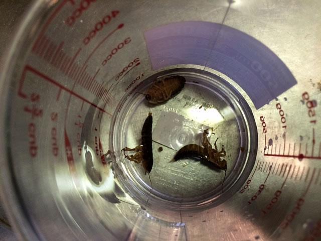 アルゼンチンモリゴキブリ試食