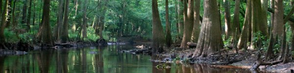 Some of the few old-growth trees left standing, in Congaree National Park.