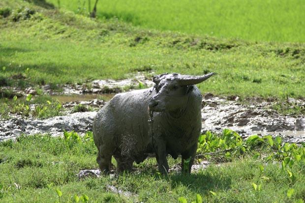 Wasserbüffel, die ausschließlich als Opfertiere gehalten werden, sind im ganzen Toraja-Land zu finden.