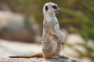 BBC meerkat