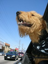 dog riding in the car