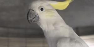 This swearing Australian Cockatoo is my new spirit animal