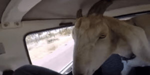 Aussie cleverly teaches his pet goat not to use the 'c-word'