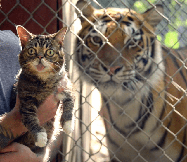 lil-bub-selfie-with-tiger
