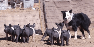 In The Battle Of Herding, Only One Can Win: Australian Shepherd vs. 6 Oinking Piglets