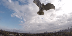 This Hawk Attacked A Quad-Copter Drone Mid-Flight And Became An Honorary Member Of The Wu-Tang Clang