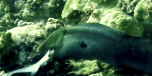 Watch This Giant Moray Eel Eat A Shark And Never Go Swimming Again