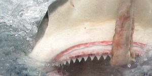 Aussie Fisherman Skips The Gym, Gets Jacked By Pulling In 13-Foot Tiger Shark On A Handline