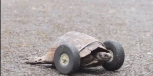 Man Turns Pet Turtle Into Real Life Gizmoduck After Rats Gnaw Off Its Front Legs
