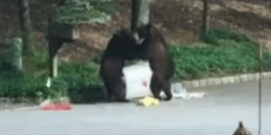 Watch These Two Massive Bears Come To Blows Right In The Middle Of A Neighborhood