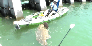 Kayak Fisherman Catches 552-Pound Goliath Grouper Big Enough To Swallow A Bear
