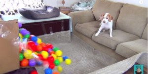 Best Owners Surprise Their Dog With A Ball Pit For Him To Play In On His Birthday