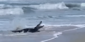 Watch As A 9-Foot Gator Is Dragged Out Of The Saltwater At A South Carolina Beach In Front Of Horrified Beachgoers