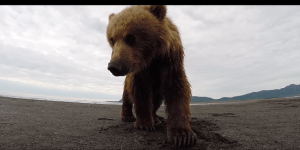 This Is Apparently A Video Of A Guy Wearing A GoPro And Getting Slapped In The Face By A Grizzly Bear