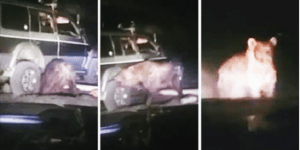 Bear Trapped Under SUV Frees Itself, Then Goes Crazy And Attacks Everything In Sight