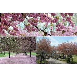 Small Crop Of Okame Cherry Tree