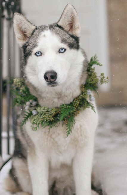 hund-snø-bryllup-ulv