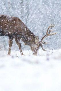 vinter-hjort-snø