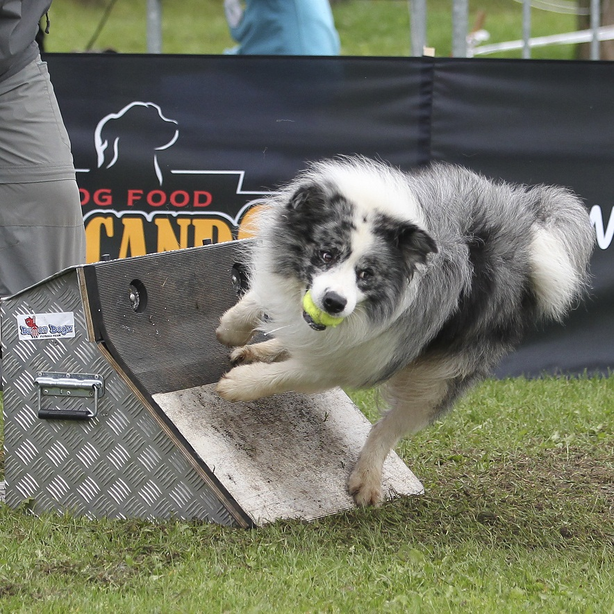 Video Flyball Dog Race