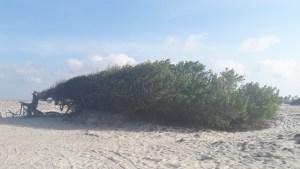 Árvore da Preguiça em Jericoacoara: vale a pena conhecer?