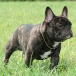french bulldog best supplements for dogs buffk9