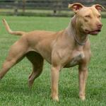 pitbull apbt registry buffk9 bbcr