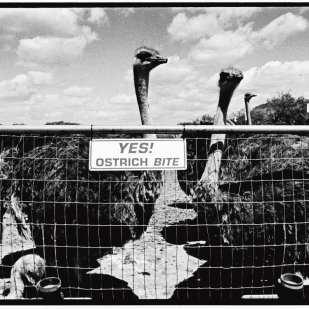 Ostrich, ©David Carol