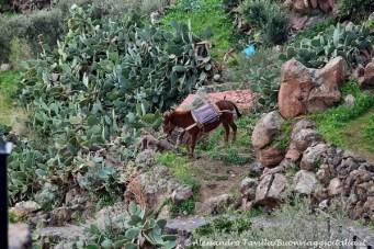 Alicudi mulo tra i fichi d'India