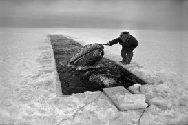 October 26, 1988: Malik ignores the evacuation order issued by the stressed-out fed President Reagan put in charge of The Great Gray Whale Rescue and lingers to exchange farewells with the two survivors he bonded so deeply with. Two Soviet Icebreakers are about to shatter this ice. Malik must go. In four years, Malik, legendary harpooner, will drown in a whaling accident. No one knows what became of the gray whales. Utkeagvik.