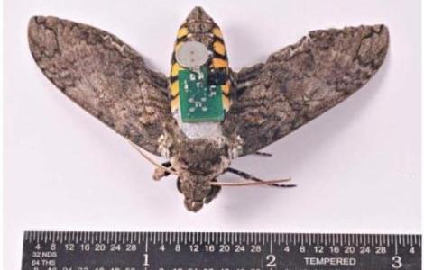 insecto-controlado-por-chip