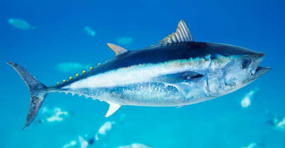 A bluefin tuna in Pacific waters.