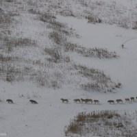 Il branco dei lupi