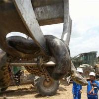 L'anaconda gigante in Brasile