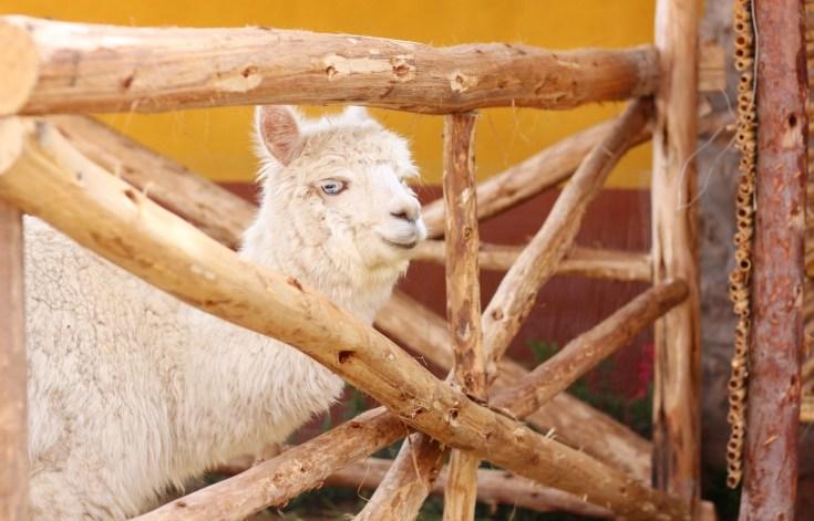 peru-alpacas