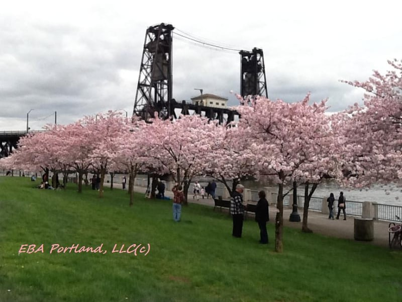 Cherry Blossoms In Portland -- Walking Along Waterfront Park
