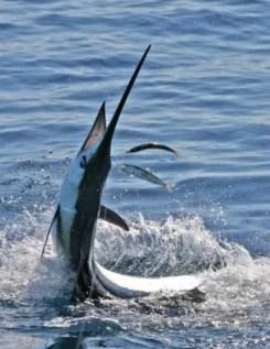 Swordfish jumping, Bahamas