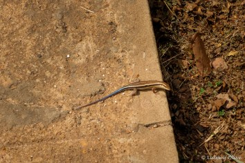 Reptile at Mole National Park, Ghana