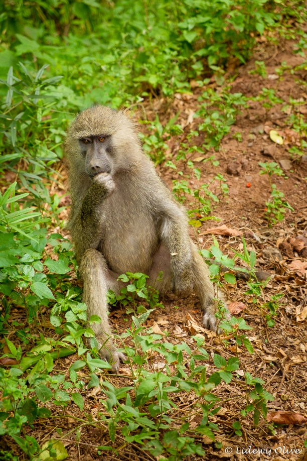 Monkey at Manyara NP
