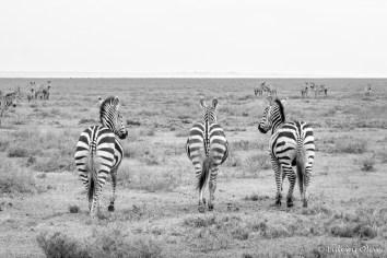 Zebra's in Serengeti NP