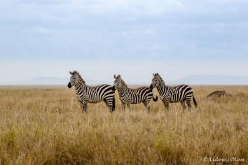 Three on a row: Zebra's in Serengeti NP