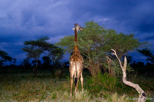 Girafffe at in the early morning aat Serengeti NP
