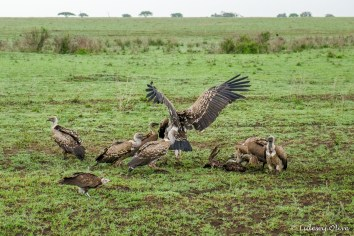 Vultures at Serengeti NP