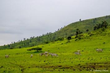 Zebra's in Ngorongoro