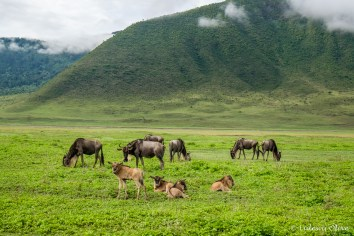 Wildebeasts with babies in Ngorongoro