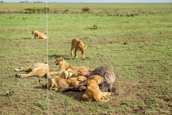 Lions eating a prey at Serengeti NP