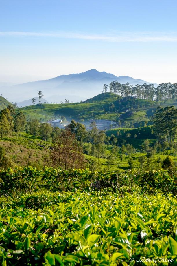 Walking through tea plantations and enjoying this stunning view!
