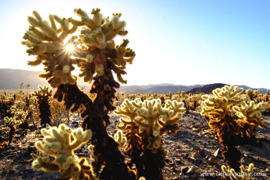 Cholla Castus garden at sunset