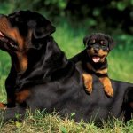 Foto 5 texto Rottweiler