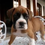 Boxer   Características da raça, fotos e vídeos